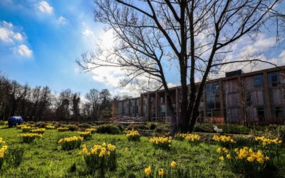 Spectacular show of daffodils at Farnham Mill this spring!